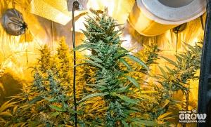 marijuana-plants-in-grow-tent-flowering-stage